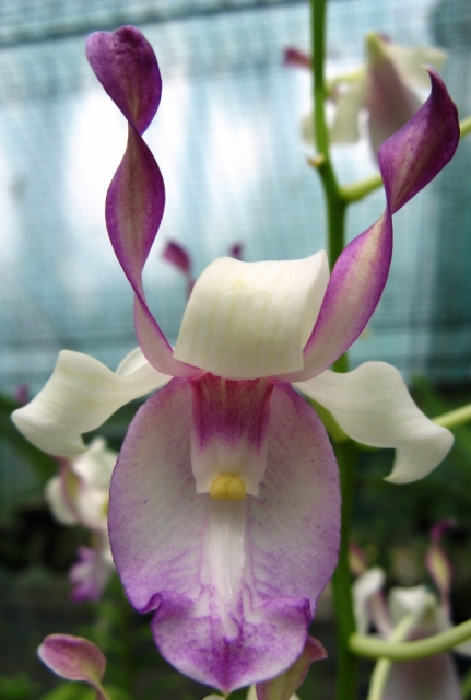 Dendrobium taurinum
